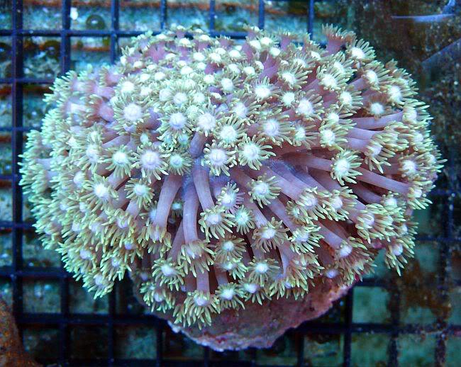 Goniopora image via R2R member AquaSD.com