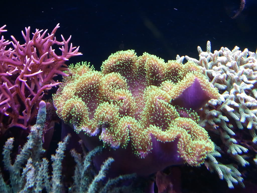toadstool leather (center) image via reef2reef member donfishy