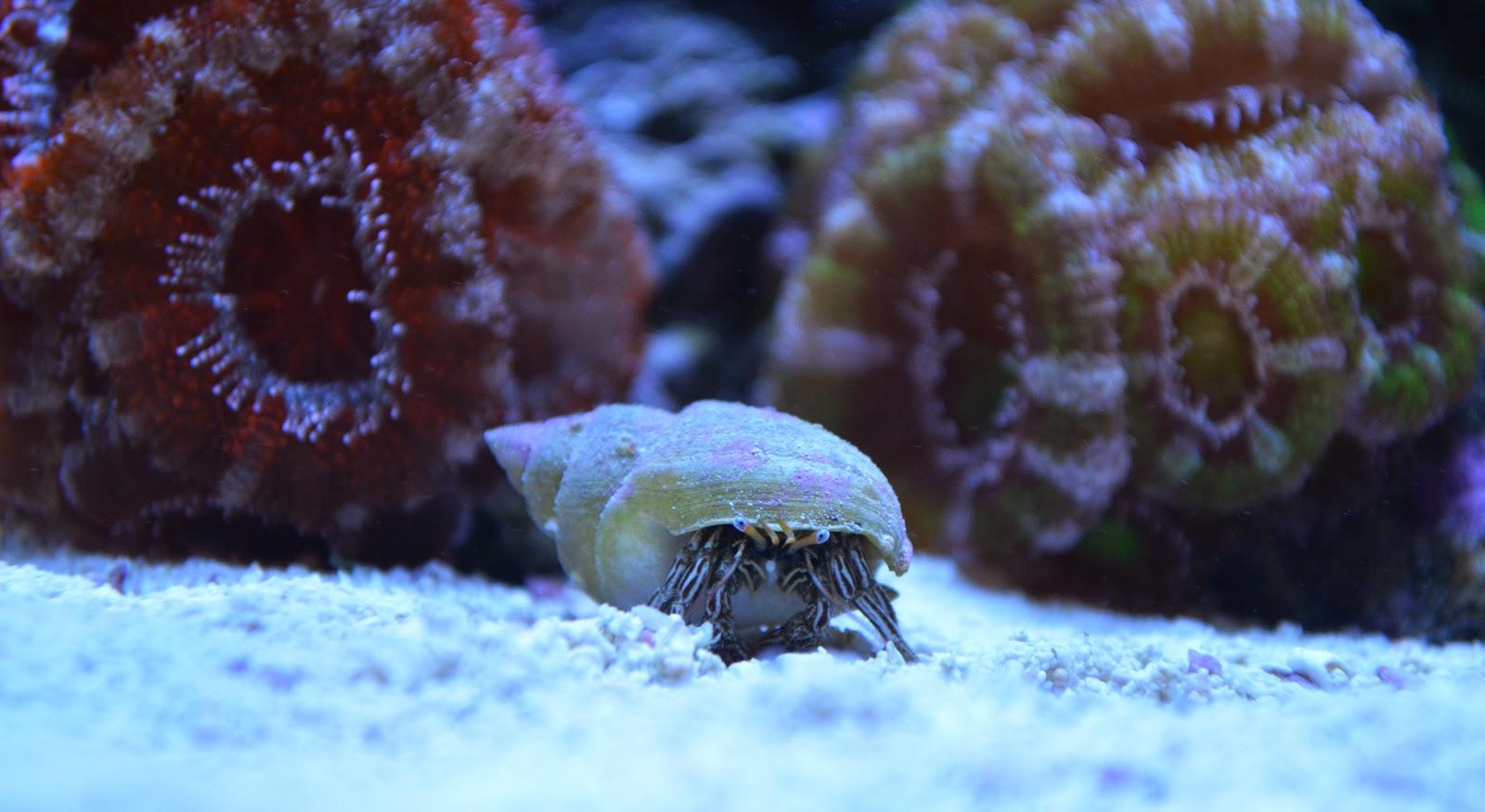hermit crab image via reef2reef member Rickyrooz