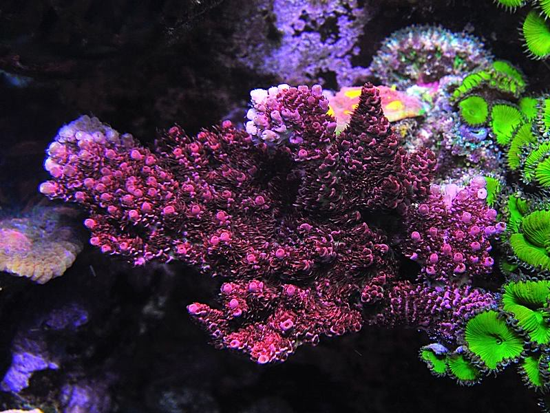 Sps Spotlight Red Planet Acropora Reefedition