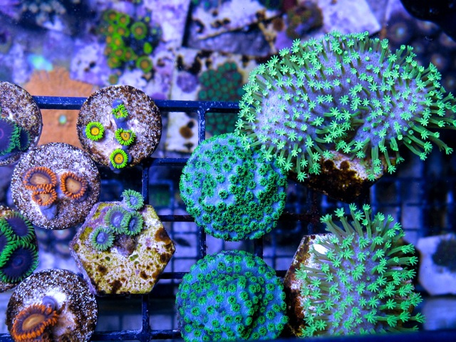 assorted coral image via reef2reef member blaten