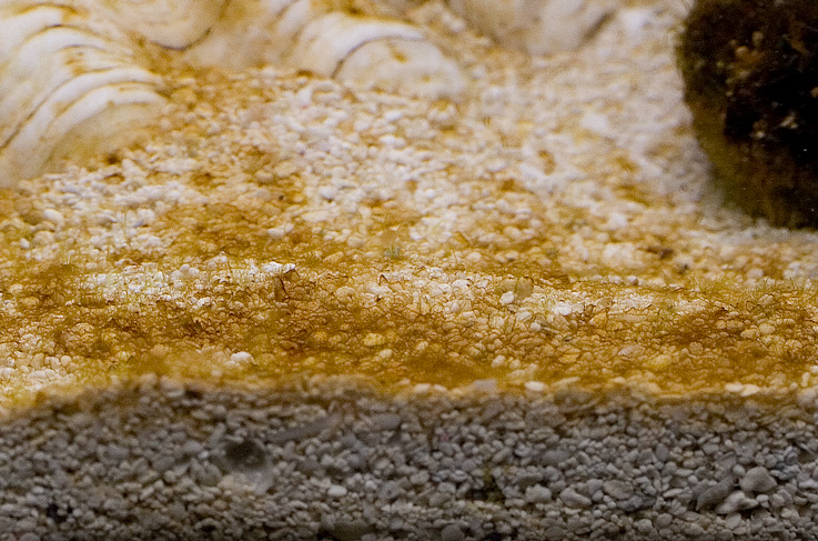 diatom algae image via reef2reef member Steven R