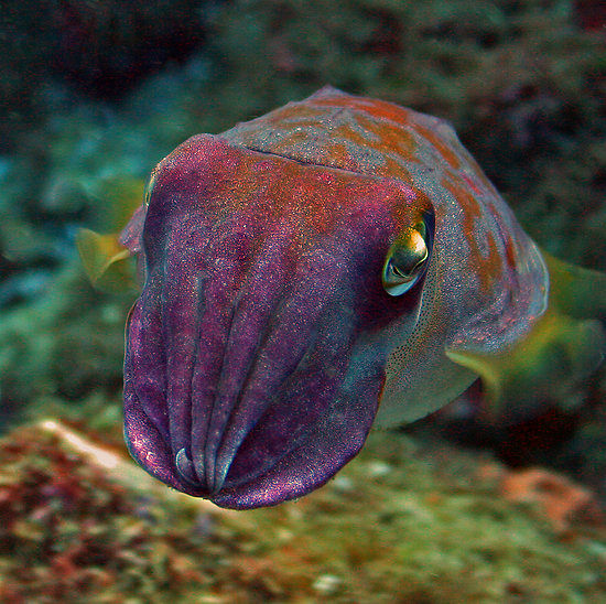 The Cuttlefish: Strangest Cephalapod in the Sea