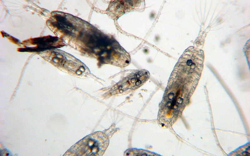 zooplankton image via http://www.teachoceanscience.net
