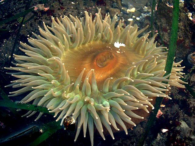 anthopleura sola anemone via wunderground.com