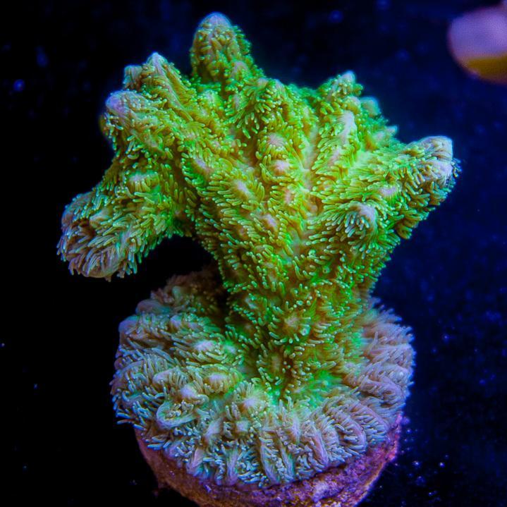 UC2inch-maricultured-aussie-hydnopora-42