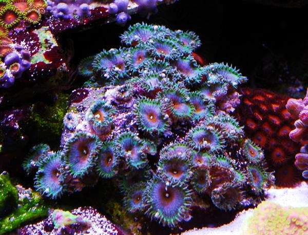 image via reef2reef member Nanofins