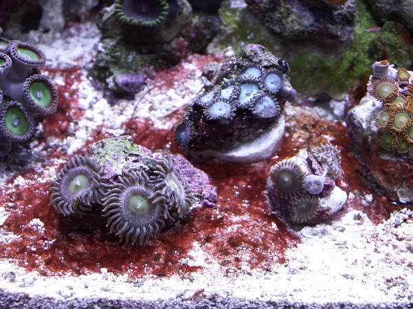 cyanobacteria algae settled in around some coral frags - image via reef2reef member Murfman