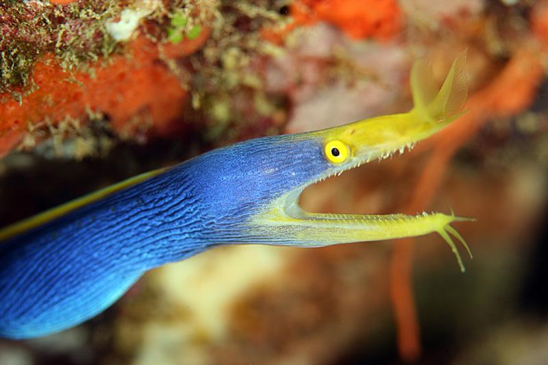 The Blue Ribbon Eel (Rhinomuraena quaesita) - REEFEDITION
