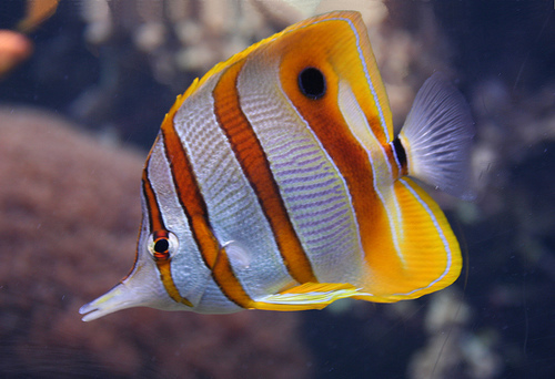 copperband butterfly fish image via library.thinkquest.org
