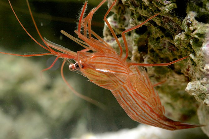 peppermint shrimp image via practicalfishkeeping.co.uk