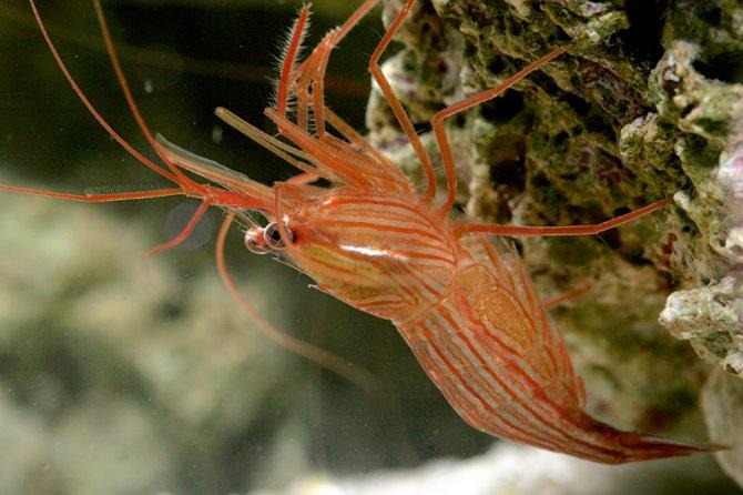 Aiptasia eaters eradicating this pest anemone reefedition for Aiptasia eating fish