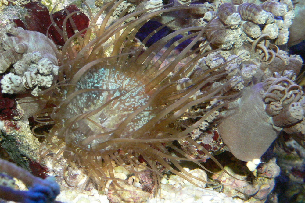 closeup photo of aiptasia anemone: not how it is stinging coral close by