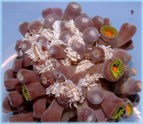 berghia eating aiptasia anemones that were situated in between the polyps of the coral colony: image via saltyunderground.com