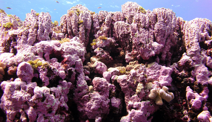 Spreading The Goods Giving Coralline Algae A Kickstart