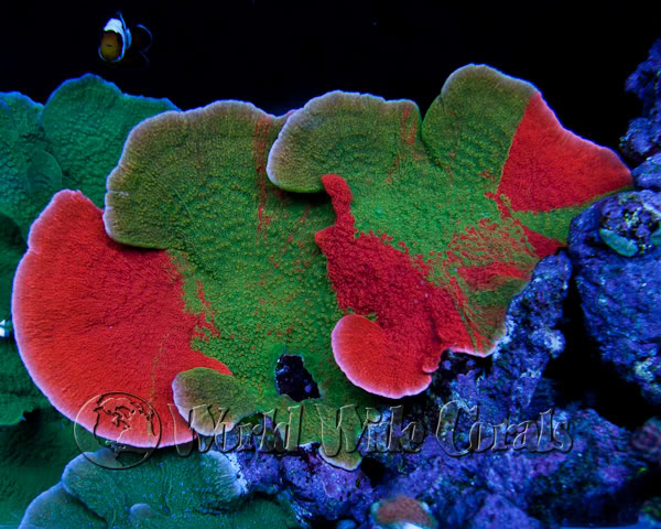 montipora cap image via reef2reef member world wide corals