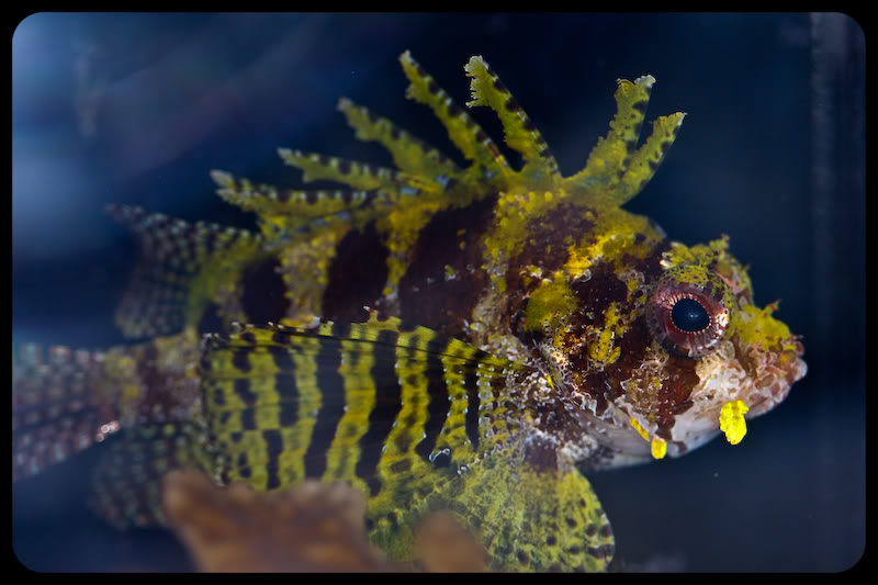 Yellow Dwarf Lionfish image via reef2reef member Breakin Newz
