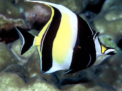 Moorish Idol requires a specialized diet and has a high mortality rate in the home aquarium