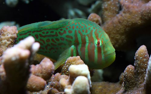 green clown goby image via aquadaily.com