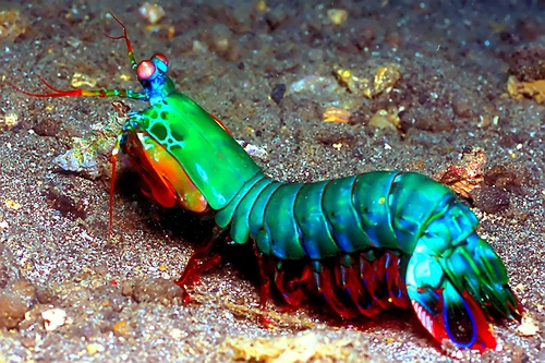 mantis shrimp image via realmonstrosities.com