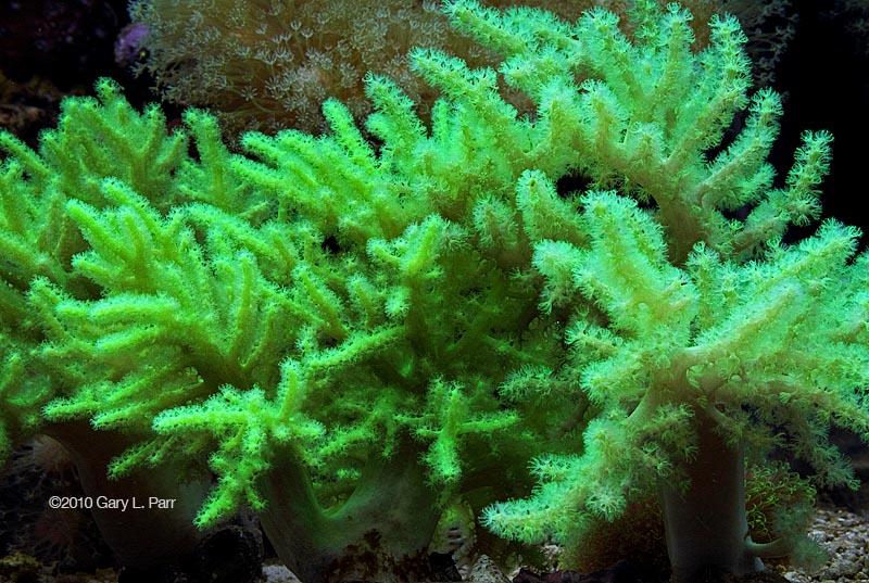 nephthea coral image via reef2reef member gparr