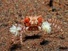 pom pom crab image via bio390parasitology.blogspot.com
