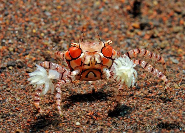 pom pom crab image via bio390parasitology.blogspot.com