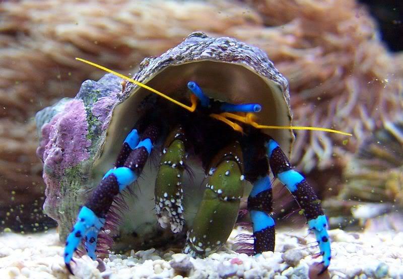 bluelegged hermit crab image via ultimatereef.net