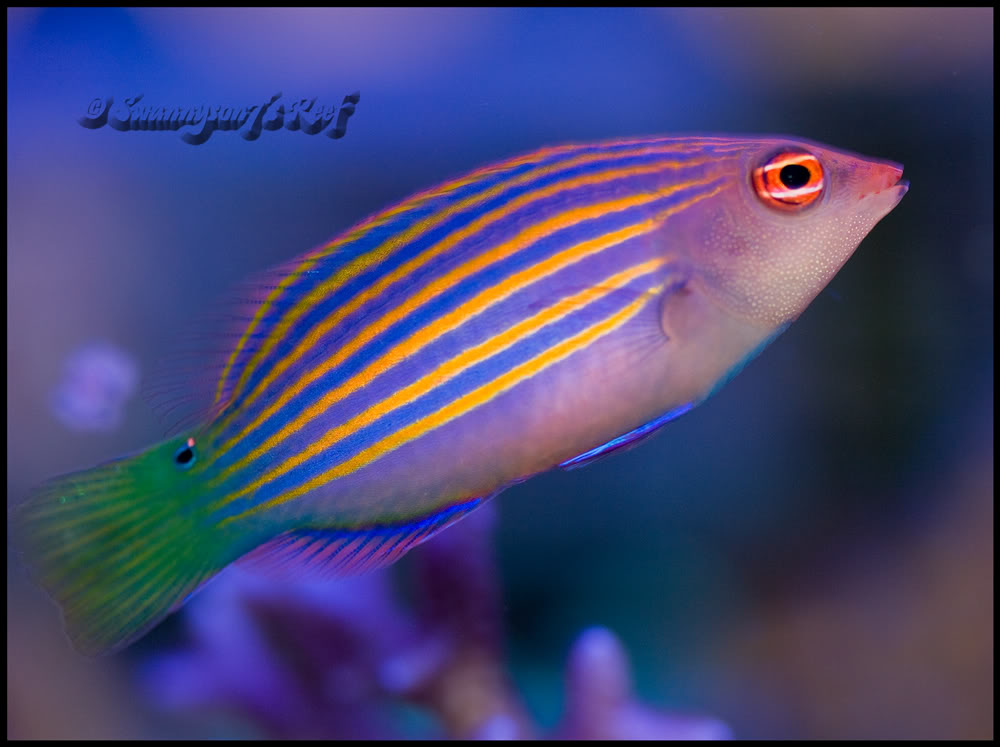 sixline wrasse image via reef2reef member swannyson7