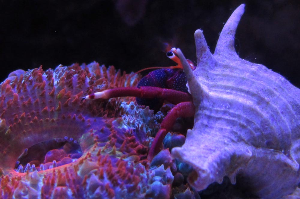 hermit crab on acan lord coral image via reef2reef member Mr. Microscope