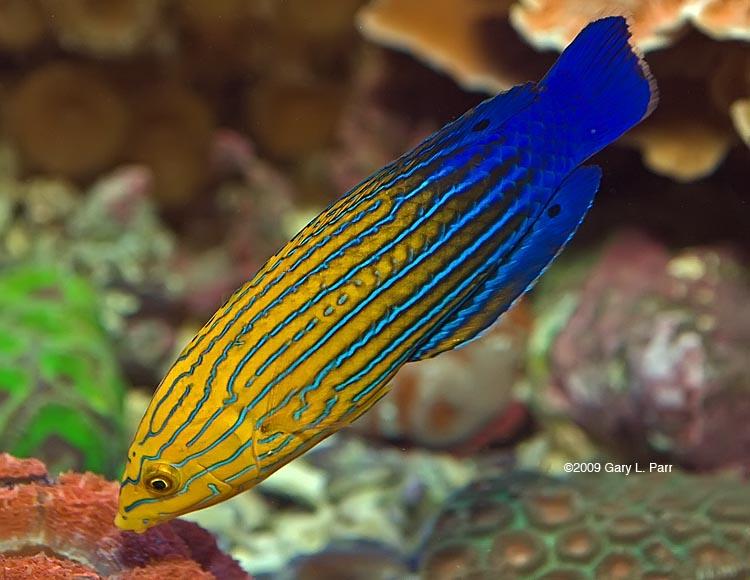 Tamarin wrasse image via reef2reef member gparr
