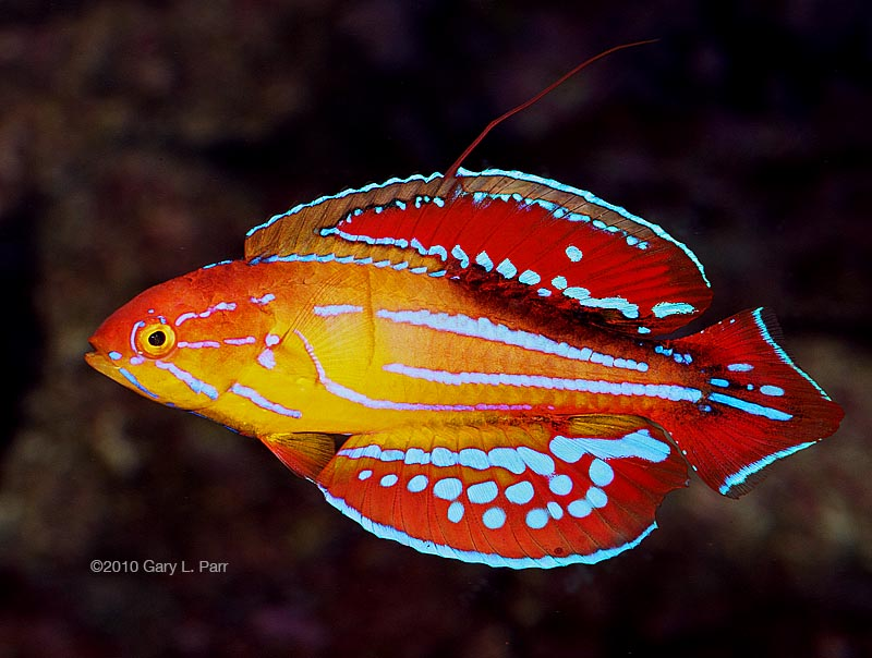 flasher wrasse photo via reef2reef member gparr