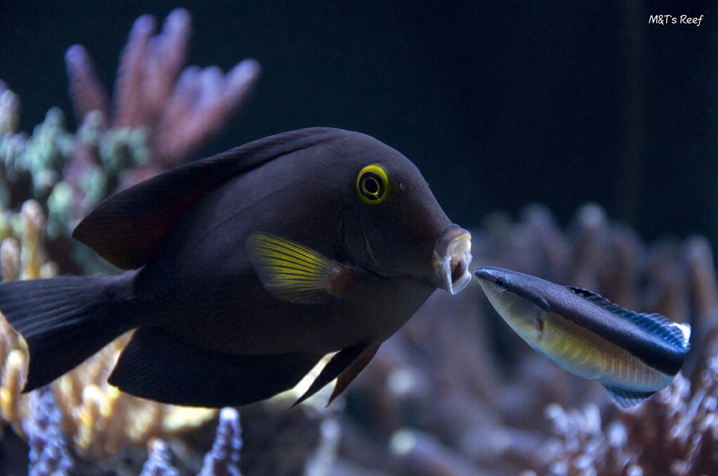 cleaner wrasse and kole tang image via reef2reef member M&T's Reef