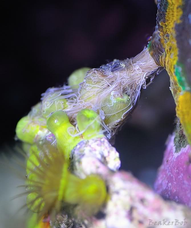 images via reef2reef member beakerbob