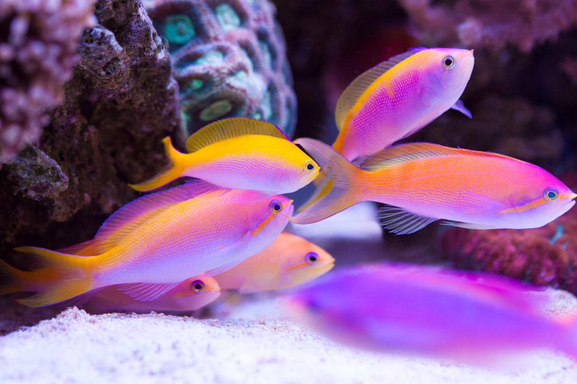 fish-anthias-group