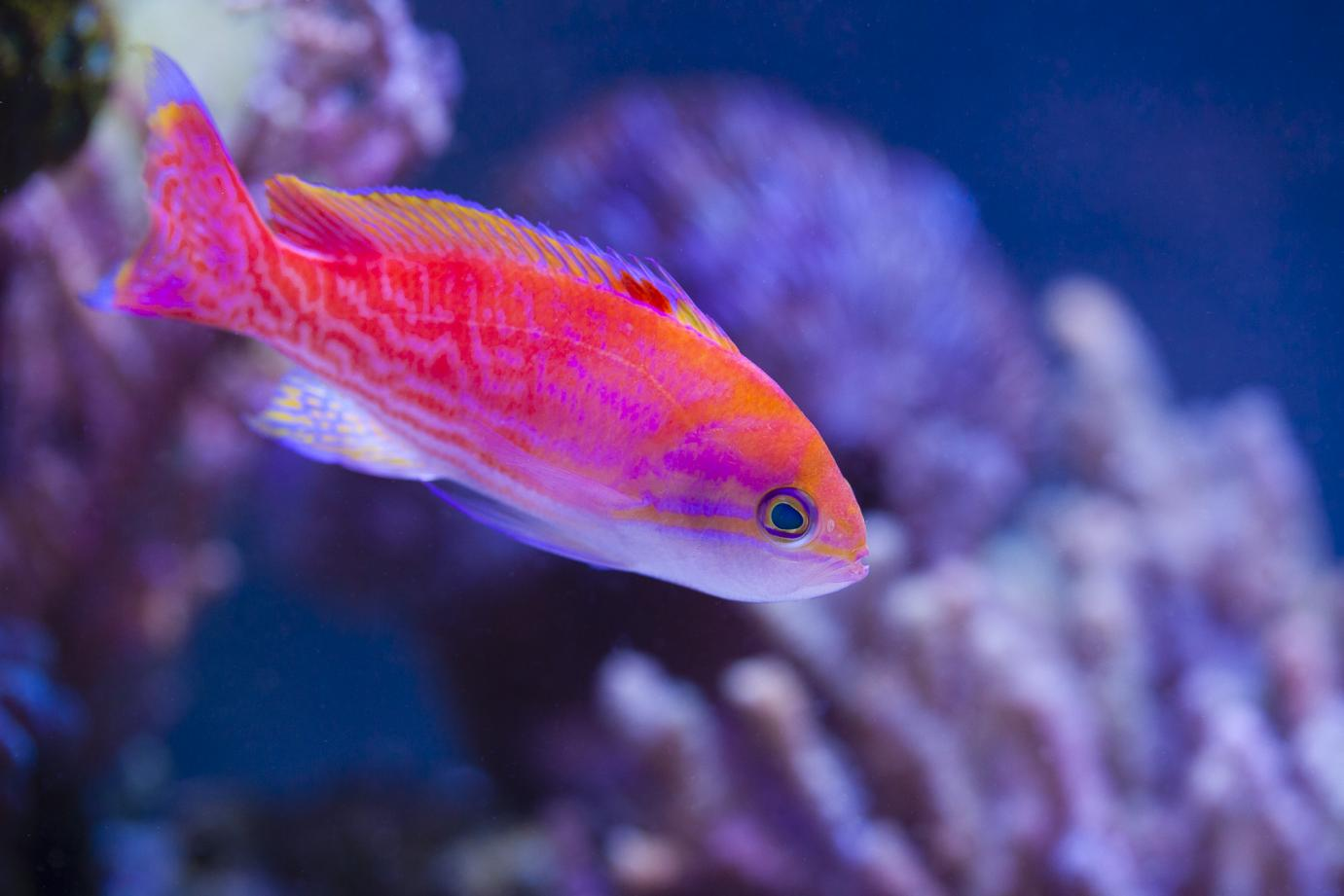 fish-bimaculatus