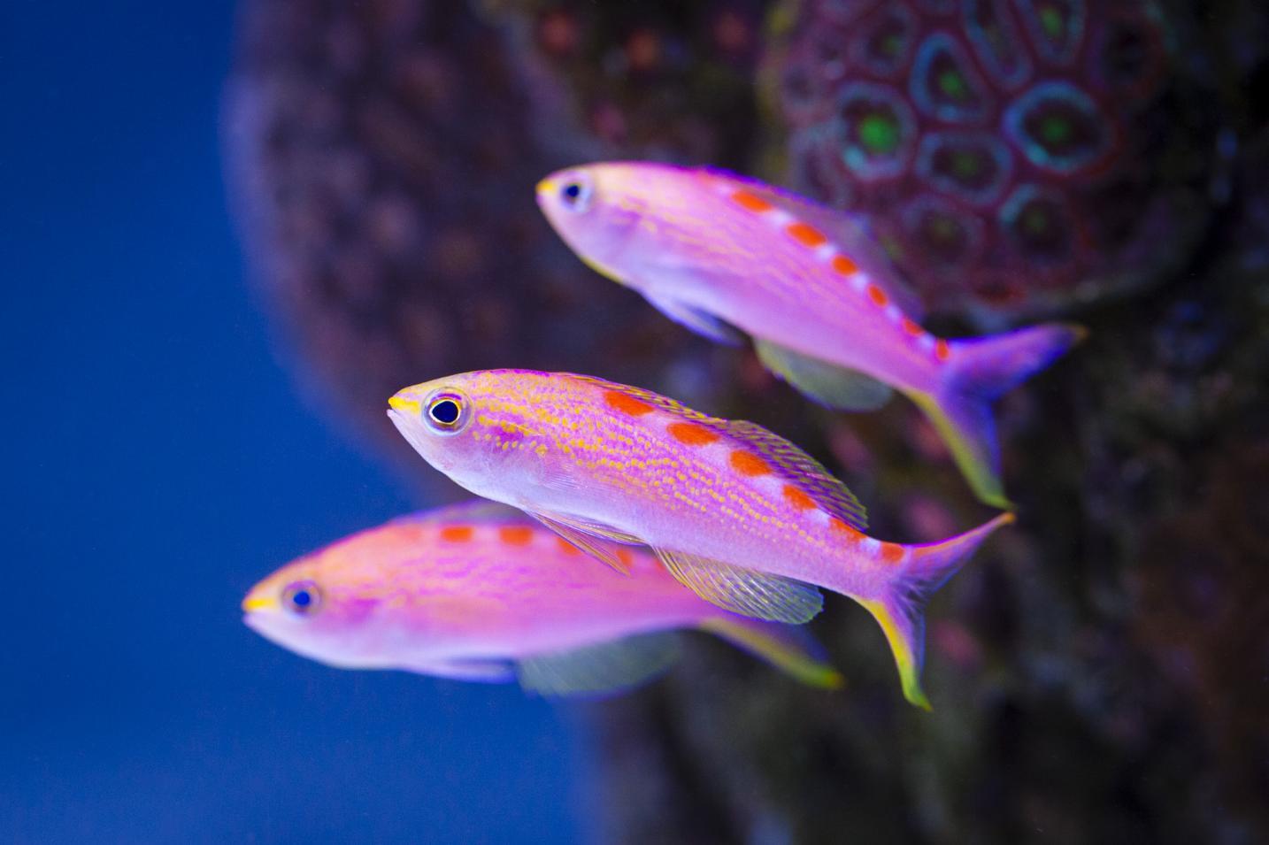 fish-red-saddled
