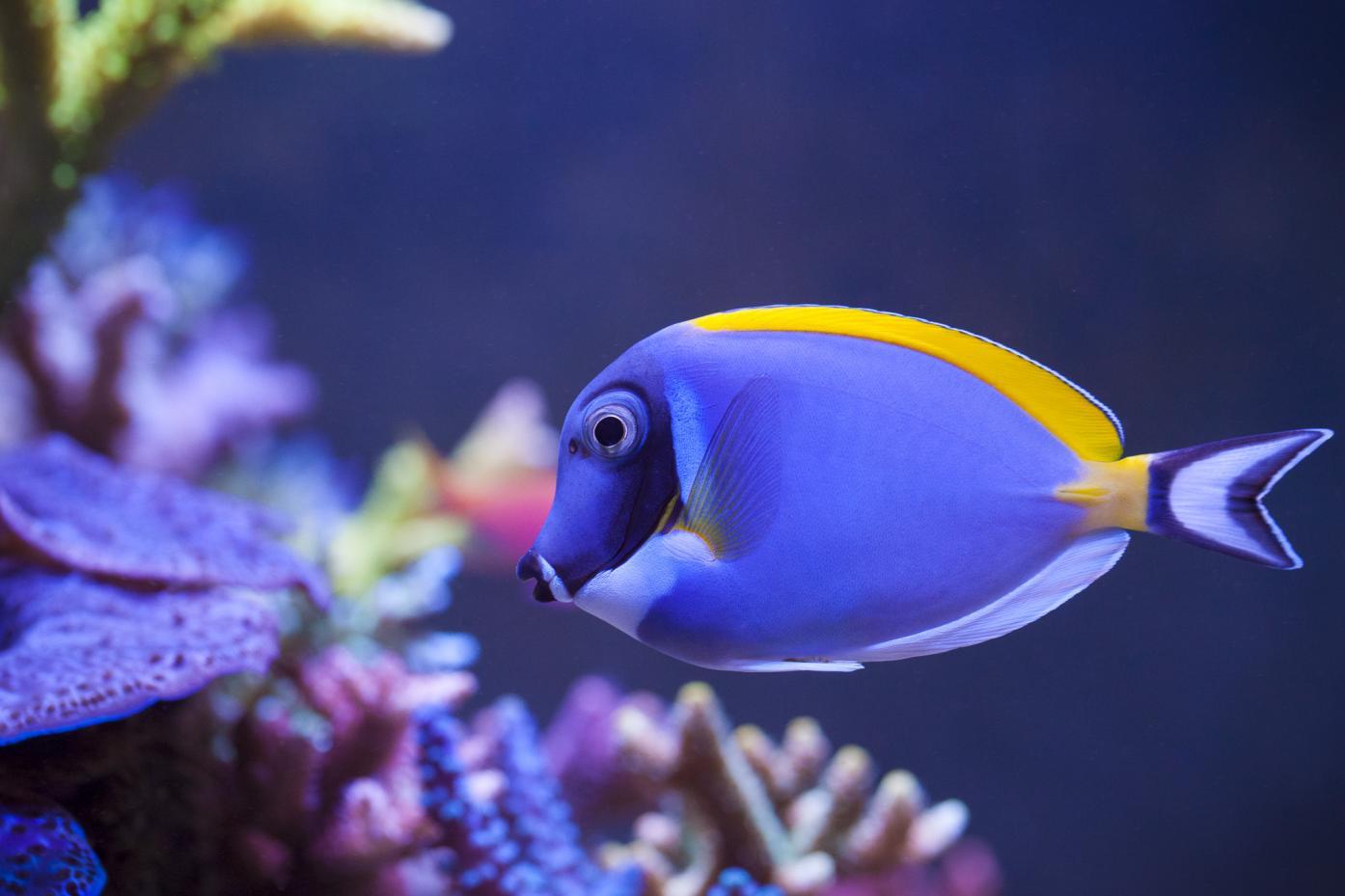 fish_powderblue