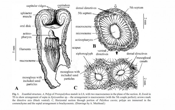Image from the paper Invertebrate Systematics, 2003, 17, 407–428