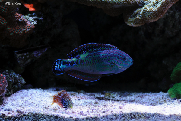 Male and female Macropharyngodon bipartitus in the author's aquarium.