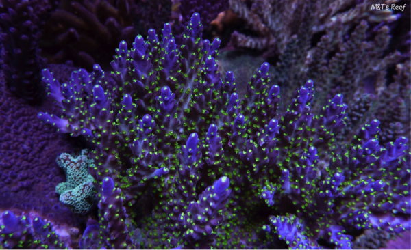 Acropora secale from the author's 300-gal. reef aquarium.